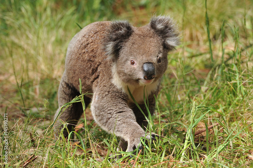 Koala walking on ground searching for females