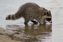 Racoon Foraging For Food