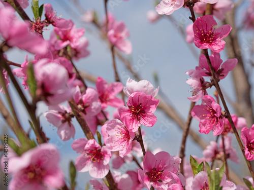 Poster Rose Pfirsichblüten, Pfirsich, Prunus persica, Blüten