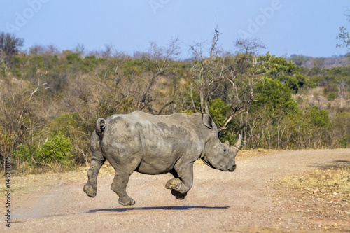 Spoed Foto op Canvas Neushoorn Southern white rhinoceros in Kruger National park, South Africa