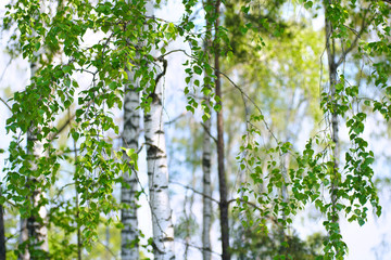Obraz Young slim thin birch trees in the spring in the forest. Branches of birch trees with young juicy leaves in the summer sun in the open air.