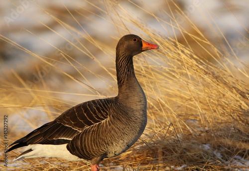 Greylag goose, Anser anser, bird of iceland