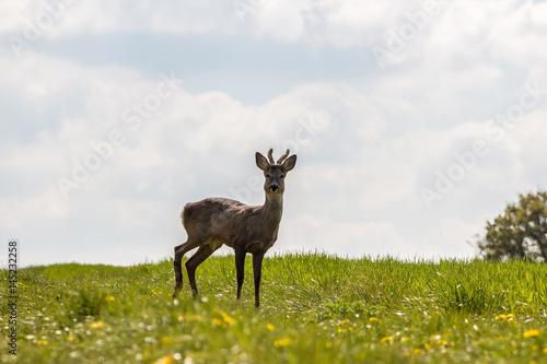 Deurstickers Hert Young deer on the field