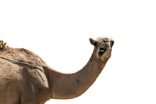 Funny Looking Smiling Camel Is...