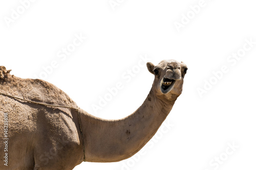 Foto op Plexiglas Kameel funny looking smiling camel isolated on a white background