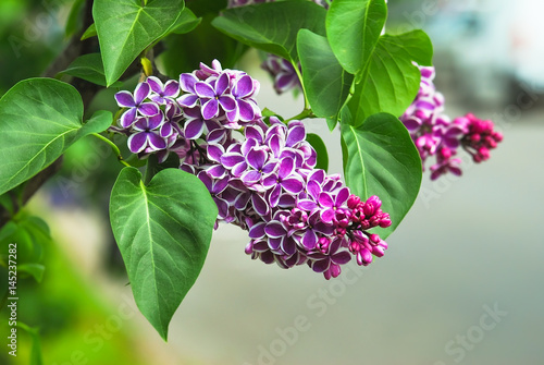 Foto op Plexiglas Lilac Blooming varietal selection two-tone lilac (Syrínga). The Sort Of