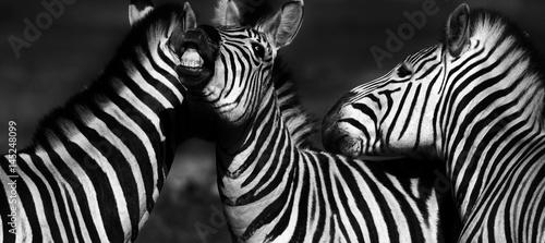 Poster Zebra Close up of a playful group of Zebras