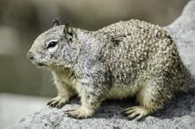 California Ground Squirrel (Otospermophilus Beecheyi) Sits On A Rock, Refugio State Beach, Goleta, CA, USA.