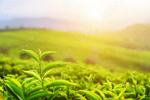 Young upper bright green tea leaves in rays of sunset Tapéta, Fotótapéta