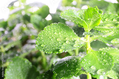 Staande foto Lelietje van dalen Beautiful drops of morning dew on the green foliage of a young plant on a sunny day