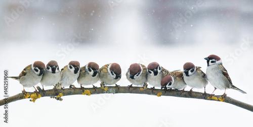 Fototapeta premium panoramiczny obraz z wielu małych śmieszne ptaki siedzą w parku na gałęzi w śniegu