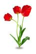 flowers, three tulips