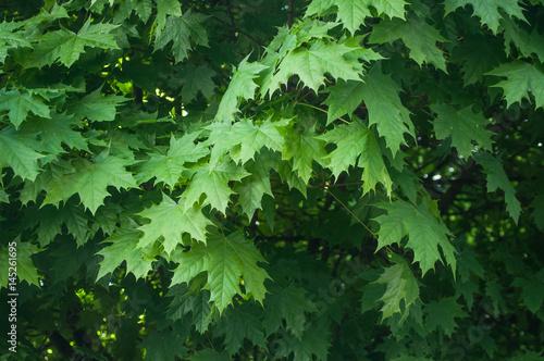 feuilles d 'érable