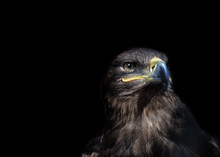 Eagle On Black