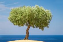 Olive Tree Against Blue Ocean ...