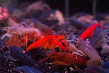 Crayfish Orange Ghost