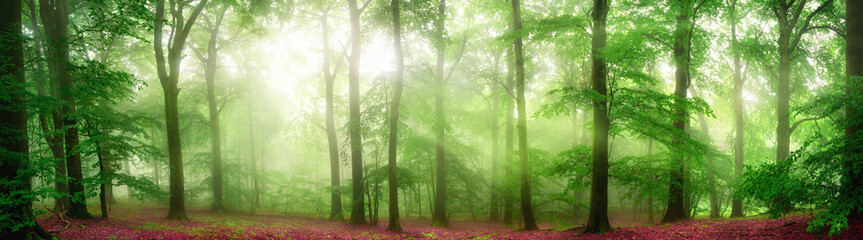 Fototapeta Do gastronomi Green forest panorama with soft rays of light falling through fog and flattering the fresh foliage