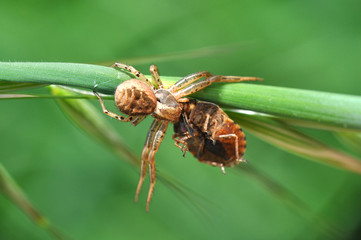 Spider eating prey on grass. Spider eat a small insect