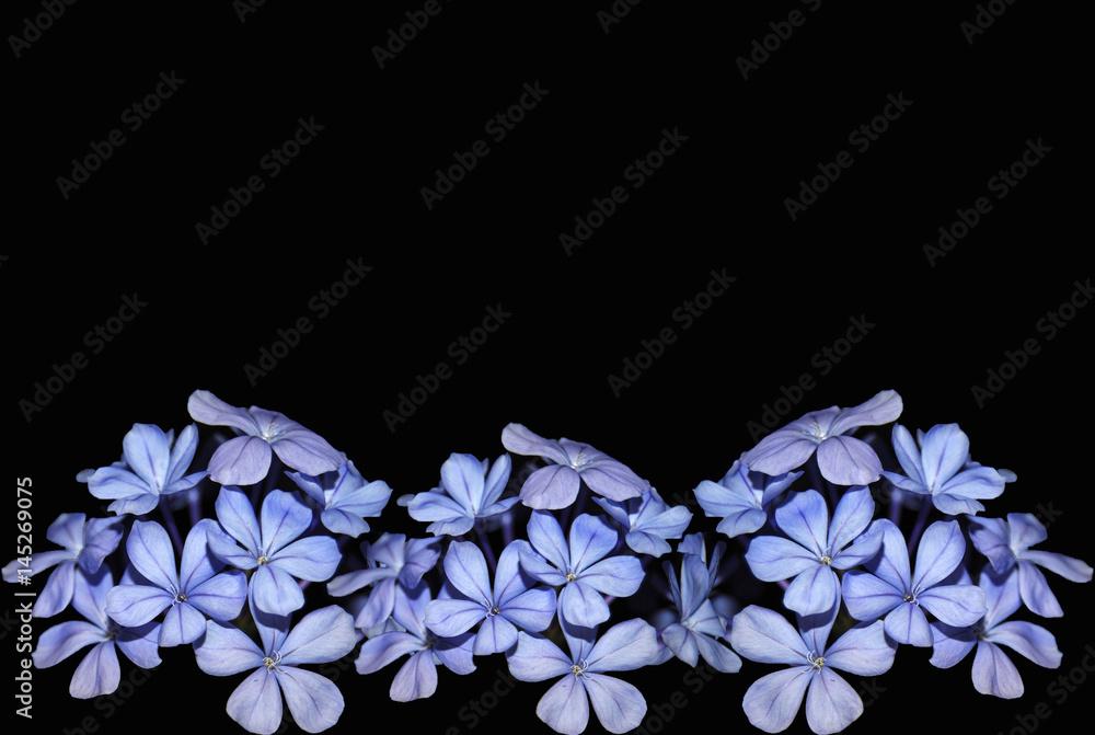 Photo Art Print Plumbago Jazmin Azul Celestina Flores Fondo