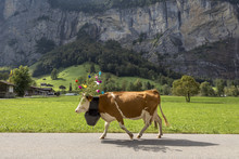 Side View Of Cow Wearing Flowers And Bell While Walking On Road By Mountain