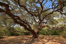 1000 Year Old Oak Tree In Texas