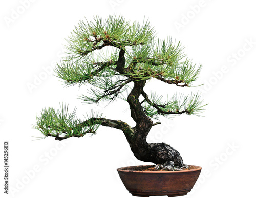 Ponderosa Pine Bonsai Tree