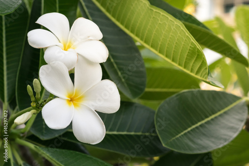 In de dag Frangipani white and yellow plumeria frangipani flowers with leaves