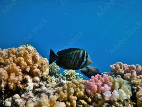 Fototapety, obrazy: Coral reef Egypt