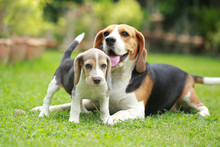 Purebred Adult And Puppy Beagl...