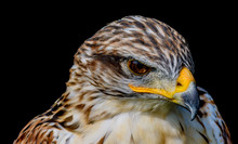 Head-shot Portrait Of An Angry, Grim,serious Looking Hawk On Black Background, Fine Art Soft Colored Single Isolated Bird With Strong Yellow Beak In Painting Style