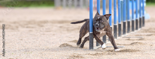 Cuadros en Lienzo  Staffordshire bull terrier doing slalom in agility dog competition