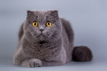 Scottish Fold Kitten Blue Color