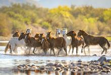 Wild Horses @ Salt River, Ariz...