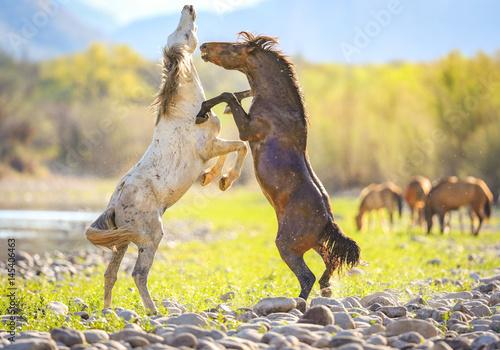 Wild Horses   Salt River  Arizona