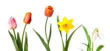 Red Tulips, Yellow Daffodil An...