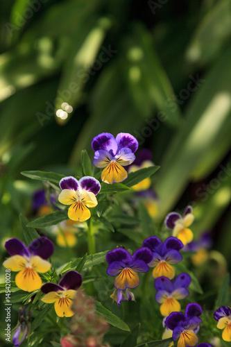 Fotografie, Obraz  Purple, yellow and white Viola flower