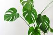Leinwandbild Motiv monstera plant