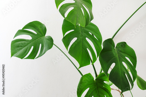 Cadres-photo bureau Vegetal monstera plant