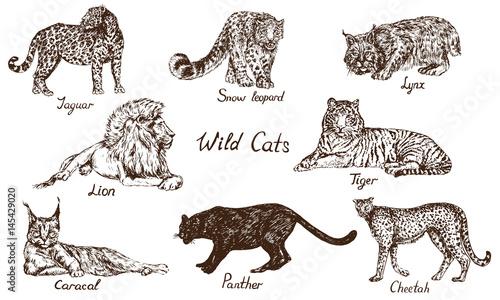 wild cats set: jaguar, snow leopard (ounce), lynx (bobcat), lion