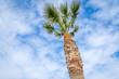 Palme vor blauem Himmel mit weißen Wolken