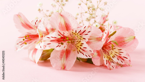 Fototapety, obrazy: Spring flowers (alstroemeria) on a pink background