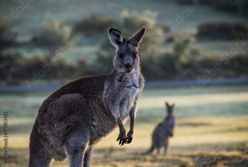 Foto op Canvas Kangoeroe Large kangaroo in rural setting at dawn