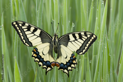 Montage in der Fensternische Schmetterling old world swallowtail butterly on morning grass