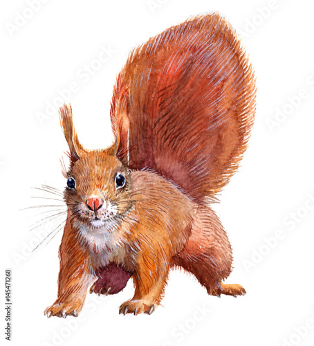 Cuadros en Lienzo  Watercolor single squirrel animal isolated on a white background illustration
