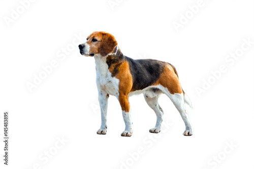 Foto auf Leinwand Hund Dog beagle stands sideways to the camera on a white background. Side-view