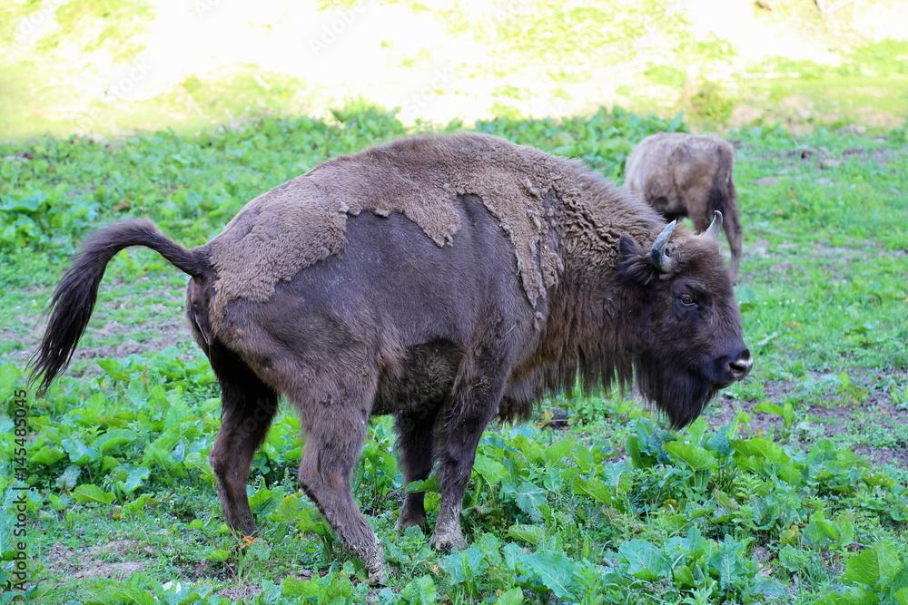 Fényképezés  Herd of European Bison (Bison bonasus) in Bieszczady National Park, Poland