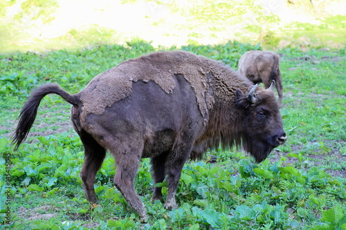 Photo  Herd of European Bison (Bison bonasus) in Bieszczady National Park, Poland