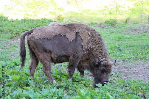Fényképezés  Close up of European Bison (Bison bonasus) in Bieszczady National Park, Poland