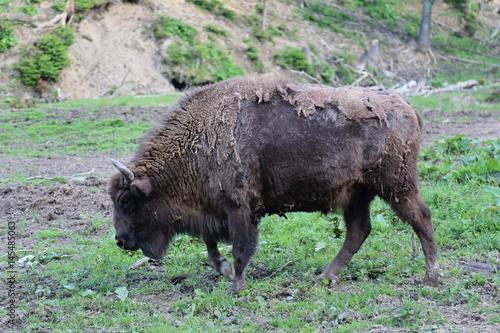 Fényképezés  Portrait of European Bison (Bison bonasus) in Bieszczady National Park, Poland