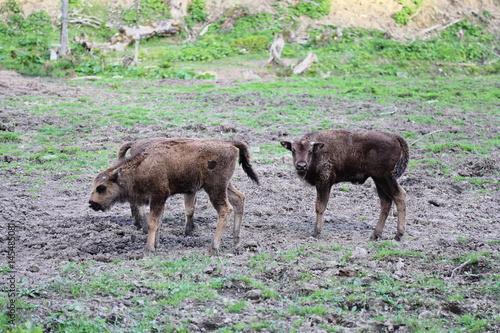 Fényképezés  Young European Bison (Bison bonasus) in Bieszczady National Park, Poland